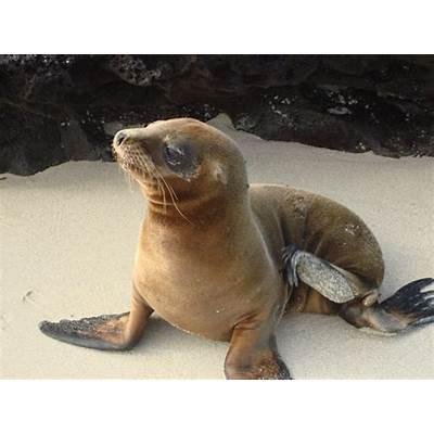 Galapagos sea lionLife of Sea