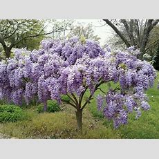 Wordless Wednesday  Wisteria Tree  Trees, Beautiful And
