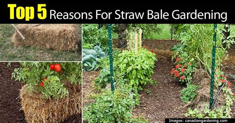 Where To Buy Straw Bales For Gardening by 5 Top Reasons For A Straw Bale Garden