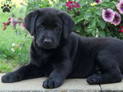 black lab puppies labrador retriever cute litle pups