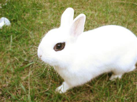 rabbit breeds different breeds of dwarf rabbits my dwarf bunny
