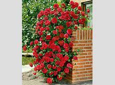 Buy Climbing Rose 'Santana'® Bakkercom
