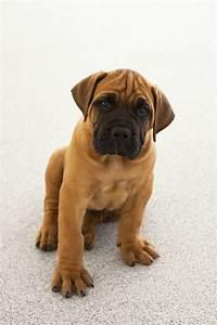 91 best Bullmastiff images on Pinterest