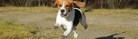 beagle zuechter  finden sie einen serioesen beagle zuechter
