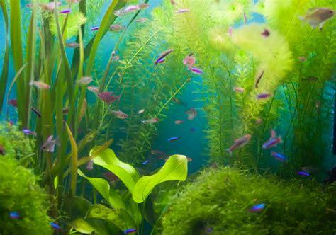 pr 233 sence d algues dans l aquarium signe d un probl 232 me