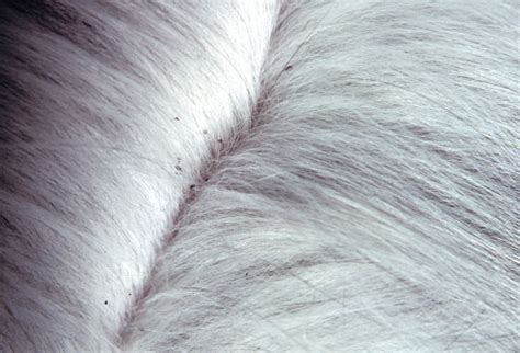 Northern Fowl Mite