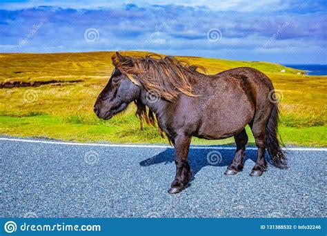shetland pony islands scotland wild farm kingdom united