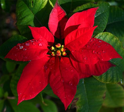 poinsettia plant images the poinsettia fun facts and how to care for the