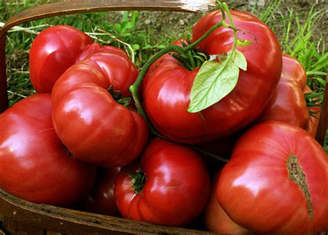 brandywine sudduth strain tomato