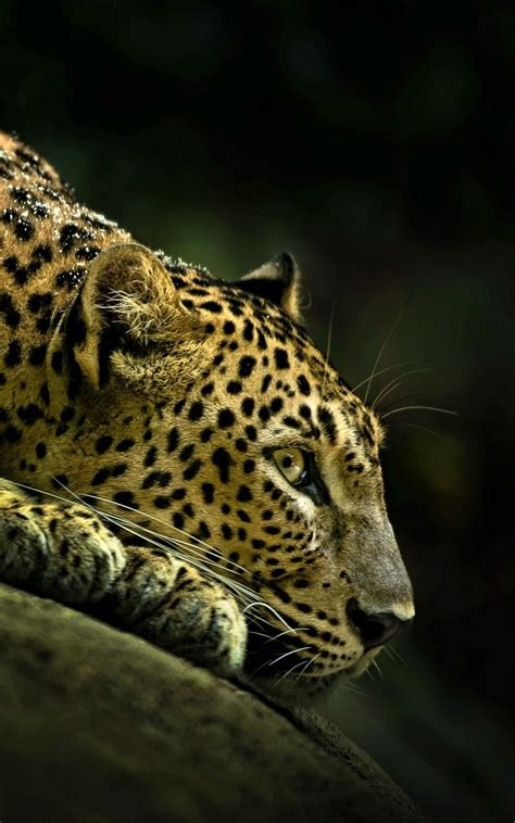 leopard profile lockscreen android wallpaper