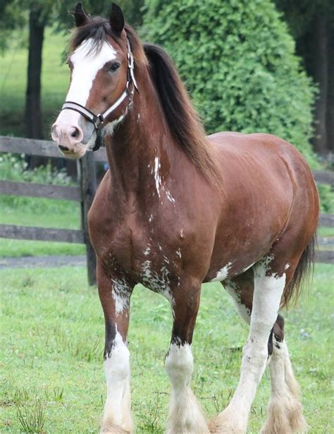 draft horse gentle giants rescue horses giant breeds animal