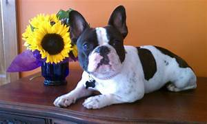 Full Grown Miniature French Bulldog