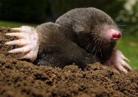 moles animal gallery of pictures of mole animals on animal picture society