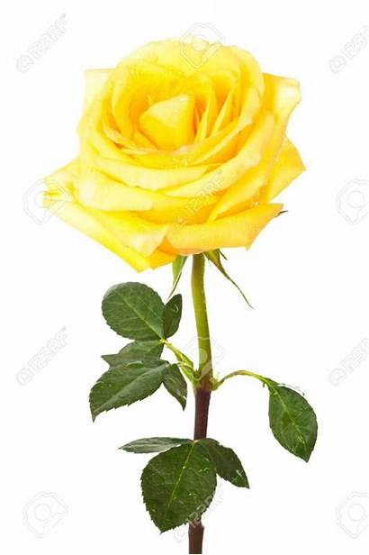 Rose Yellow Single Clipart Flower Background Pale