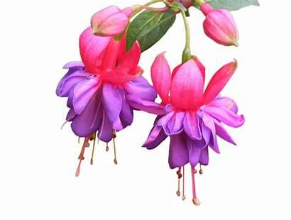 Fuschia Flowers Fuchsia Clipart Teal Transparent Fuscia