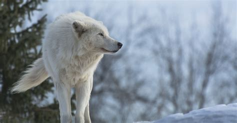 1080p Wolf Wallpaper Hd For Mobile by Wolf Wallpapers Hd Pictures One Hd Wallpaper Pictures