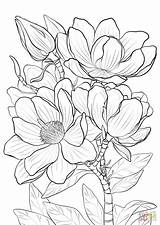 Coloring Magnolia Pages Printable Campbells Drawing Magnolias Nature sketch template