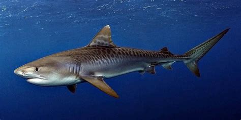 tiger shark     dangerous sharks dinoanimalscom