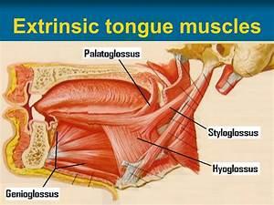 Anatomy Of Oral Cavity  Pharynx  U0026 Oesophagus