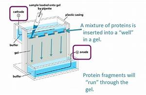 What Is The Use Of Gel Electrophoresis