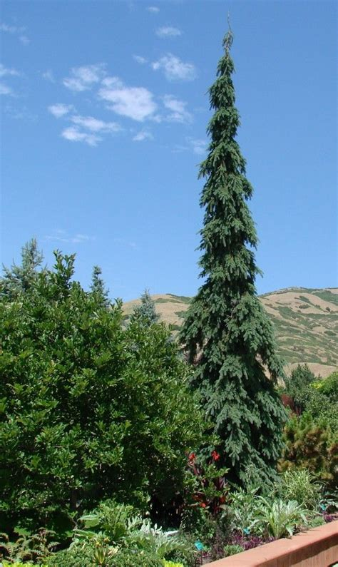 picea glauca pendula weeping white spruce   tall