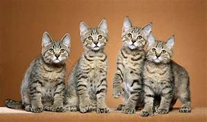 Pixiebob Cat Breed Information