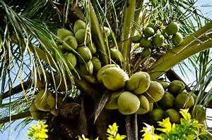 Bilder Von Palmen : kostenlose foto baum natur ast frucht palme lebensmittel gr n produzieren kokosnuss ~ Frokenaadalensverden.com Haus und Dekorationen