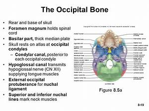 Chapter 8 *Lecture PowerPoint The Skeletal System - ppt ...