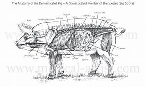 Veterinary Illustrations