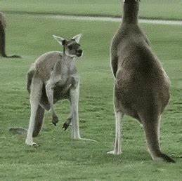 Buff Kangaroo strikes a pose : funny