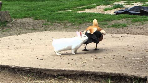 Rabbit To A Duck Do You Want To Have Sex With Me Youtube