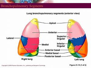 LG Lecture 22: Embryological Respiratory System - Anatomy ...
