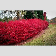 Burning Bush Plant For Sale  The Tree Center™