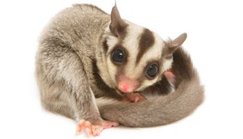 sugar glider products exotic nutrition
