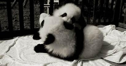 Panda Gifs Adorable Pandas Playing Animals Animated