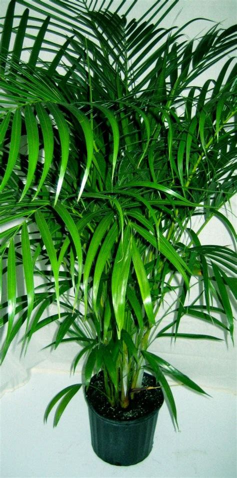 areca palm 4 quot pot tropical patio palm tree live plant