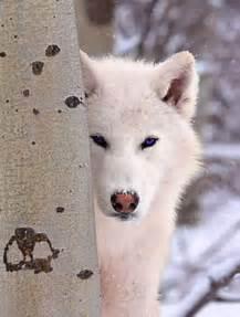 Beautiful Pure White Wolf