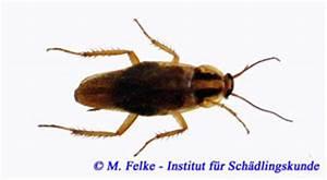 Kakerlaken ähnliche Insekten : schaben blattodea ~ Articles-book.com Haus und Dekorationen