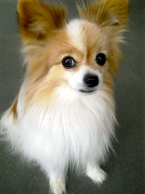 i have a papillon named toby and he is absolutely the