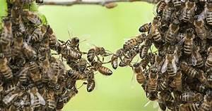 Essaim De Frelon : conseils et conduite tenir face un essaim d 39 abeilles ~ Melissatoandfro.com Idées de Décoration