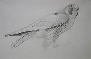 Sketching Peregrine Falcon Birds From Life - Lori McNee ...