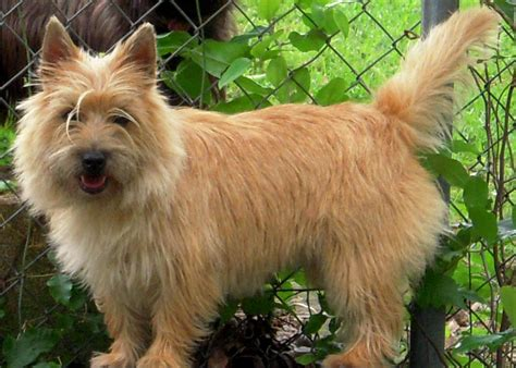 Cairn Terrier Shed Hair by Animals World Pictures Of Cairn Terrier Puppies Gallery