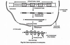 Regulation Of Gene Expression In Eukaryotes  With Diagram