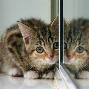 File:Kitten and partial reflection in mirror.jpg ...