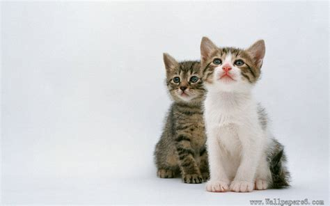 Two Absorbed Cat Animal Wallpapers Free Download Wallpaper