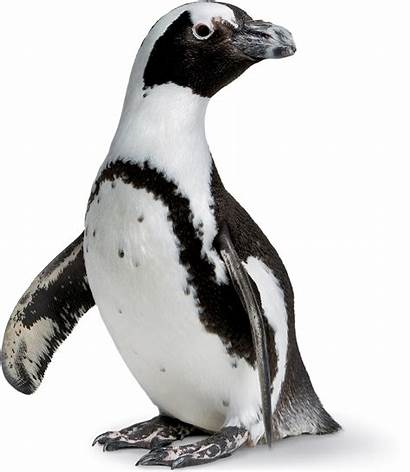 Penguins Transparent Penguin African Backgrounds Sciences Academy