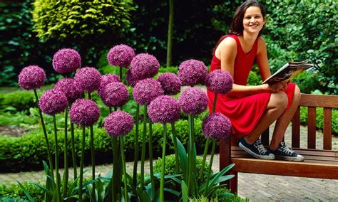 allium giganteum flower bulbs groupon goods