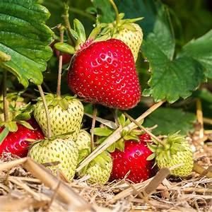 Plant De Fraisier : fraisier 39 magnum 39 le lot de 20 le lot de 20 plants en ~ Premium-room.com Idées de Décoration