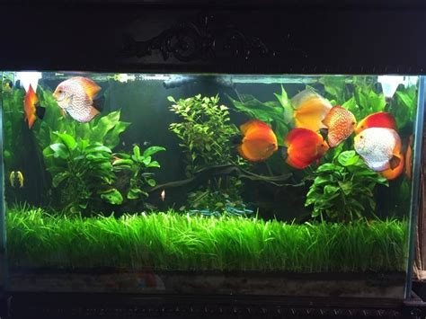 aquarium decor de fond discus tank placement discus