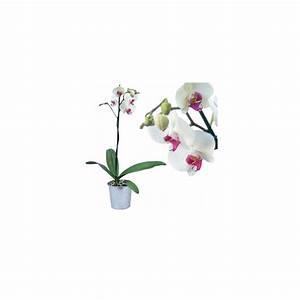 Cache Pot Orchidée : orchid e phalaenopsis blanche et rose en fleurs 1 hampe florale ramifi e cache pot zinc ~ Teatrodelosmanantiales.com Idées de Décoration